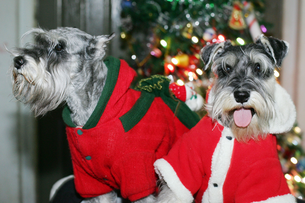 Schnauzers dressed in festive Santa suits are shown during a pet dog show held by the Jilin Pet Industry Association on Christmas Eve, December 24, 2007 in Changchun of Jilin Province, China.