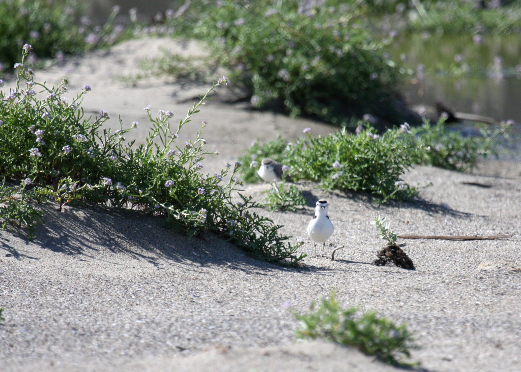Western snowy plovers at Malibu Lagoon State Beach. For the first time in nearly 70 years, western snowy plovers are nesting on Los Angeles County beaches.