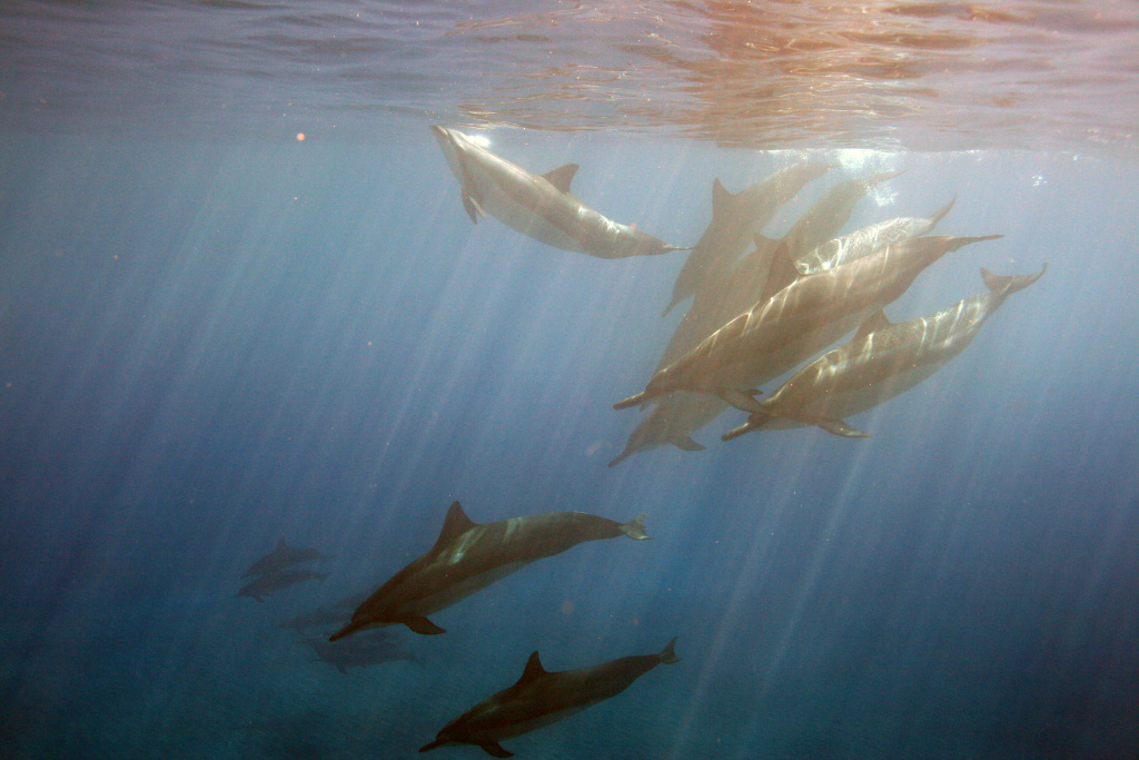 A school of spinner dolphins