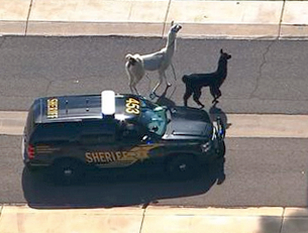 In this image taken from video and provided by abc15.com, a Maricopa County Sheriff's vehicle tries to herd two quick-footed llamas as they dash in and out of traffic before they were captured, Thursday, Feb. 26, 2015, in Sun City, Ariz., a Phoenix-area retirement community. The llamas thwarted numerous attempts by sheriff's deputies and bystanders to round them up before they were roped into custody. (AP Photo/abc15.com) MANDATORY CREDIT.