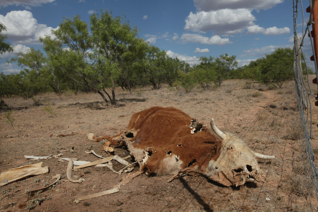 SAN ANGELO, TX - JULY 25: The remains of a decomposing cow lies in a pasture July 25, 2011 on a ranch near San Angelo, Texas. Recently ranchers from the southwest and Mexico gathered in the high desert of west Texas to review results of an experiment to raise new, hardy grass seeds that can flourish in a harsh, demanding landscape.