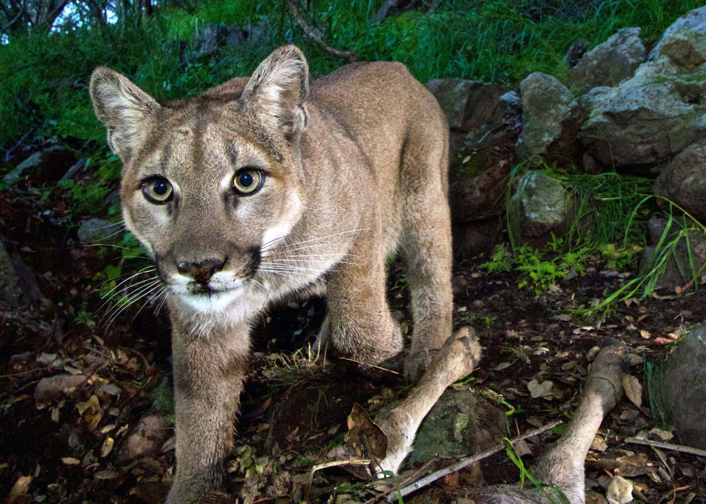 FILE - This Feb. 9, 2015, file photo, released by the National Park Service, taken from a remote camera in the Santa Monica Mountains National Recreation Area near the Los Angeles and Ventura county line, shows a female mountain lion identified as P-33. She is one of several mountain lions observed in and near urbanized areas in greater Los Angeles.