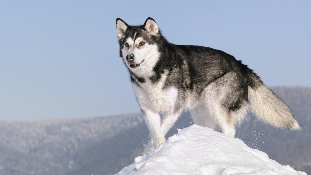 Alaskan malamutes were bred about 4,000 years ago and are the closest living relatives to the ancient dog that developed the contagious cancer.