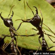 Ants at war
