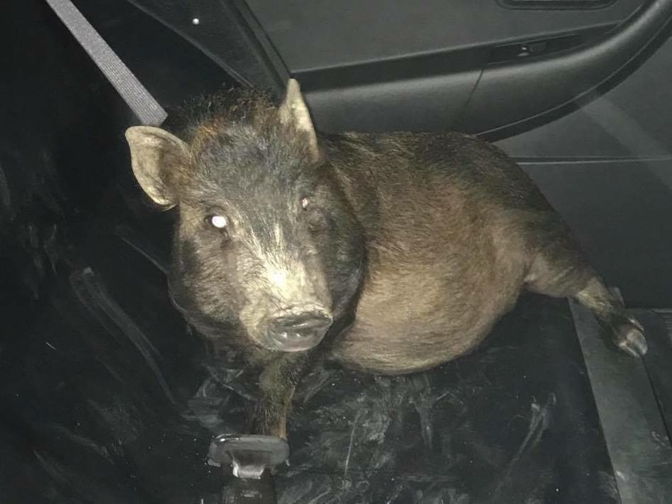 This pig was following a man in Ohio as he walked home. Police thought the man was