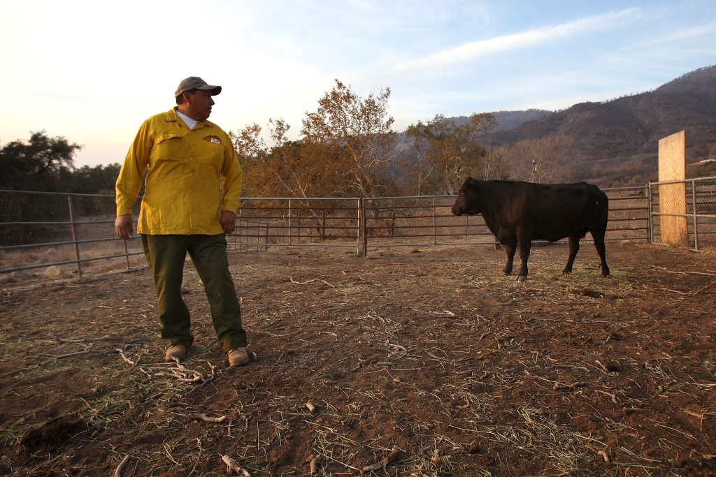 Robert Ruise, a member of the La Jolla Indian Reservation Fire Department, checks on cattle after the fire devastated most of the land on the reservation October 28, 2007 in La Jolla, California.