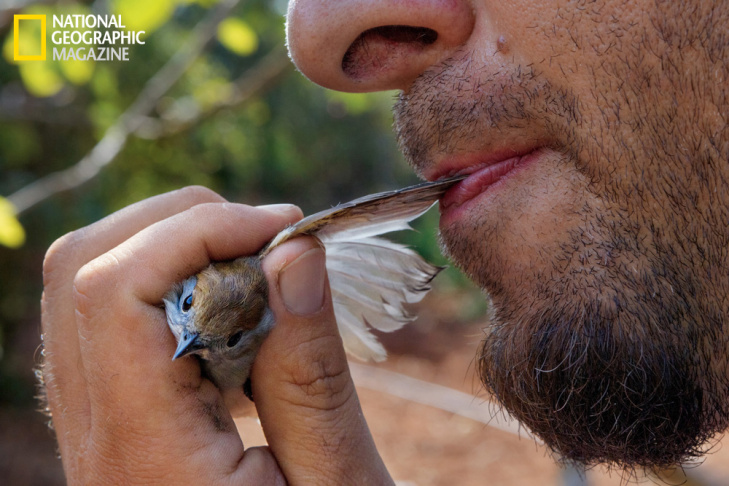 A whitethroat, en route to winter grounds in Africa, is caught on a lime stick. Image from the July 2013 issue of National Geographic magazine.