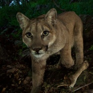 Santa Monica mountain lions