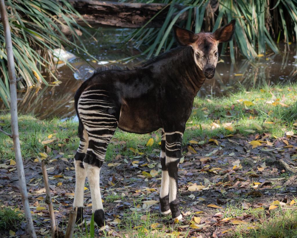 A female okapi calf, on display at the L.A. Zoo.