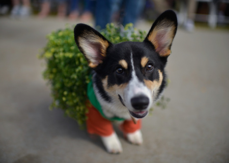 Wilson, a corgi dressed as a Chia Pet, attends Haute Dog Howl'oween Parade on October 29, 2017 in Long Beach, California.