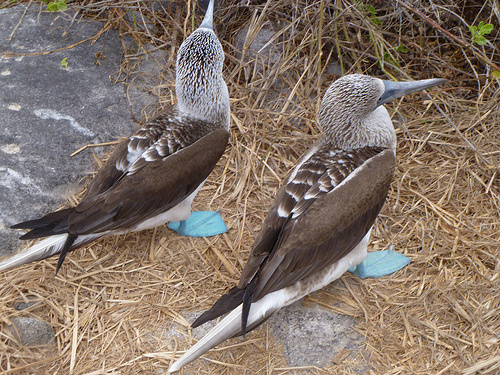 An adult Blue-footed Booby photographed on Santa Cruz, Galapagos in Ecuador.