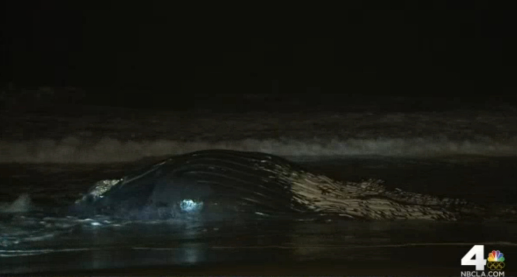 The whale is approximately 40 feet long and is believed to have been between 10 to 30 years old. Marine animal authorities will try to determine why the animal died.