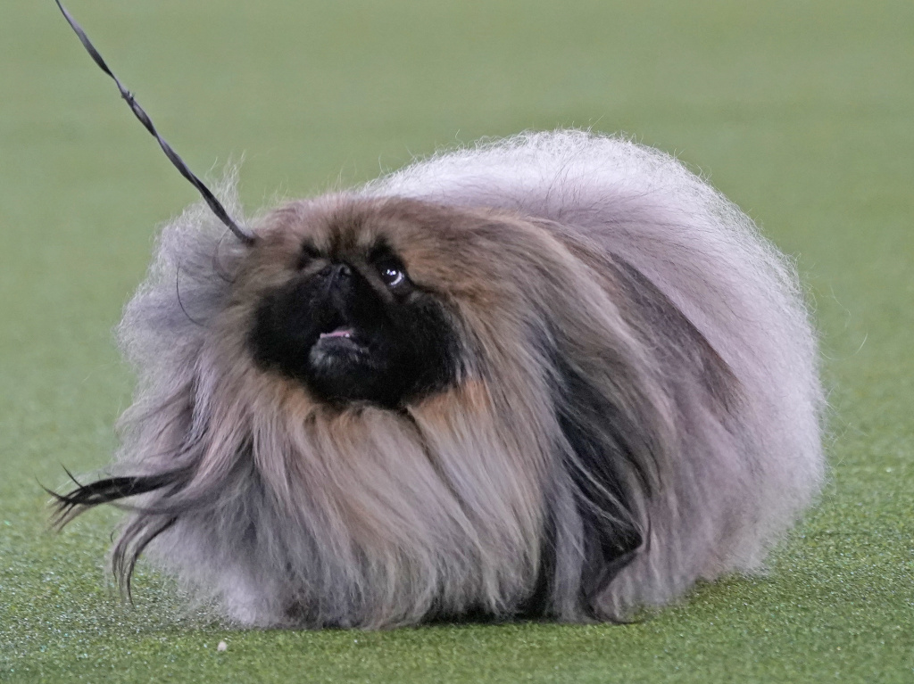 A Pekingese walks with its handler in the Best in Show at the Westminster Kennel Club dog show Sunday in Tarrytown, N.Y. The dog won the blue ribbon in Best in Show.