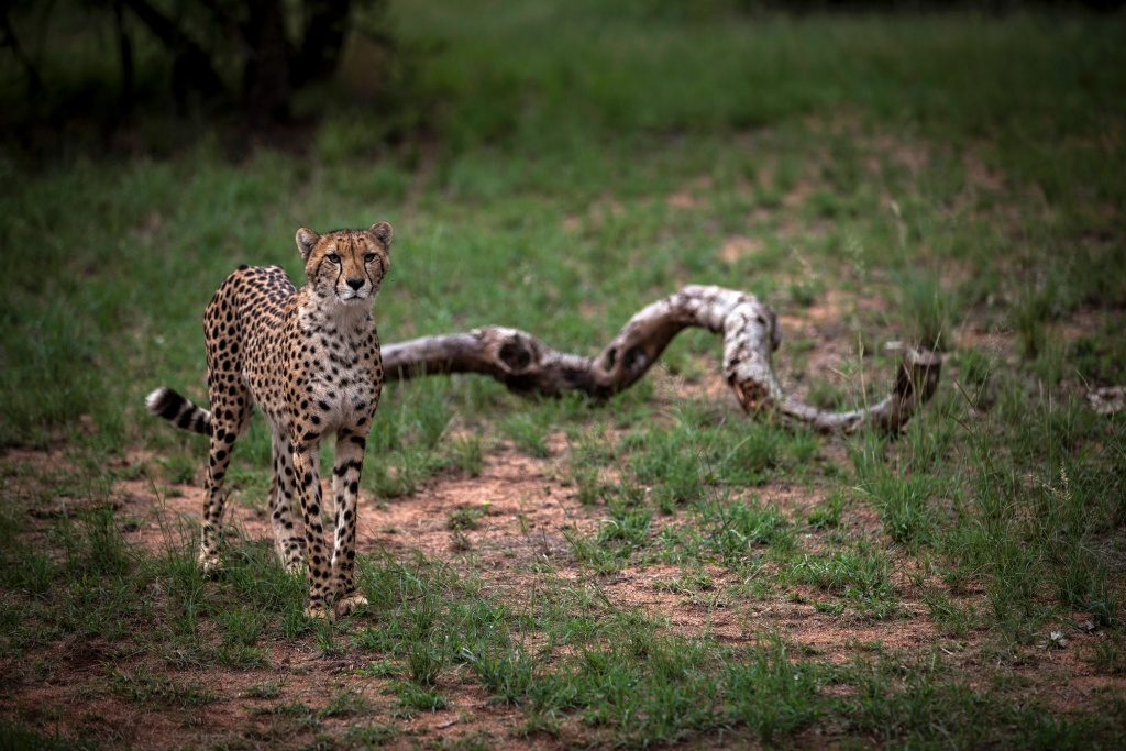 A Juvenile male cheetah is pictured inside a closed camp at the Ann van Dyk Cheetah Centre on December 30, 2016 in Hartbeespoort, South Africa.