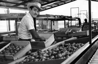 Tomato worker in Los Mochis, Mexico. Tomatoes grown and packed near Los Mochis make up 80% of those sold in Los Angeles. Photo dated: April 24, 1966.