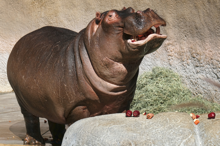Hippopotamus named Adhama, takes a cool dip in the pool at his enclosure at the Los Angeles Zoo on Thursday, March 9, 2017. Visitors to the zoo are getting their last glimpses of the popular male hippopotamus before he's moved to Texas in the hopes of continuing his genetic line. Zookeepers said Thursday that Adhama will make the trip later this month to a permanent home in a new two-acre enclosure at the Dallas Zoo.