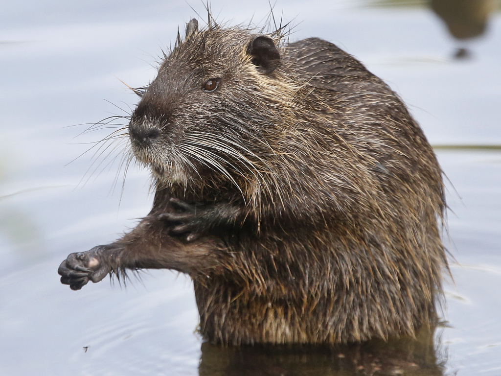 Nutria were believed to have been eradicated in California but the swamp rodent is back. Wildlife officials want the public's feedback before devising a new plan to get rid of them.