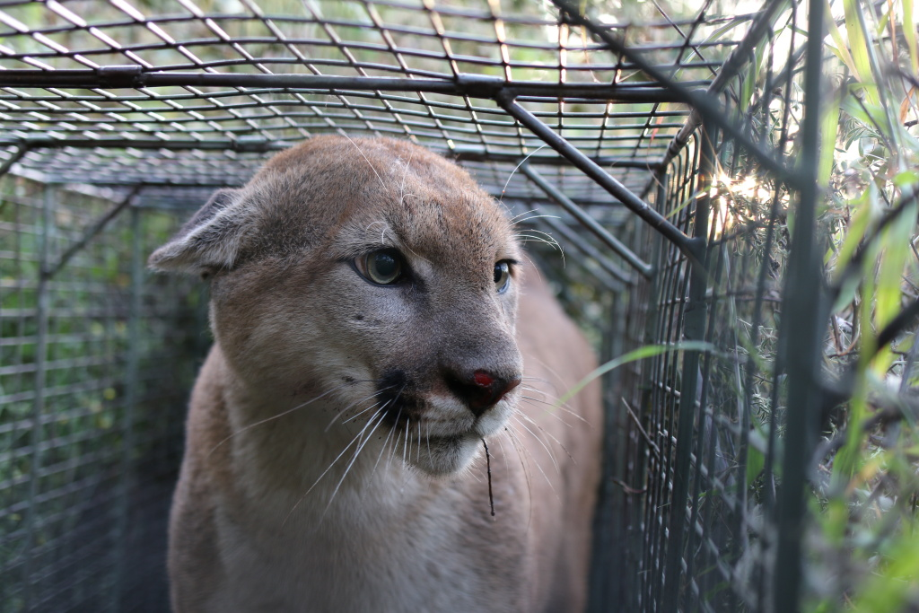 The three year old mountain lion known as P-55 crossed the busy 101 freeway twice.