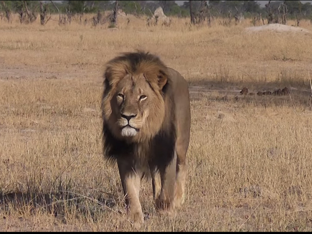 Investigation Underway Into Killing Of Cecil Zimbabwe S
