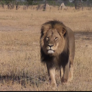 Cecil the lion is shown walking in Zimbabwe's Hwange National Park in a YouTube video from July 9, 2015. Credit: Bryan Orford