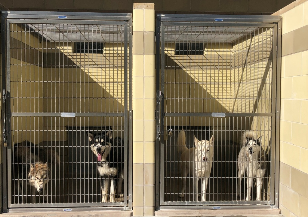 Group shot of Huskies in a kennel.