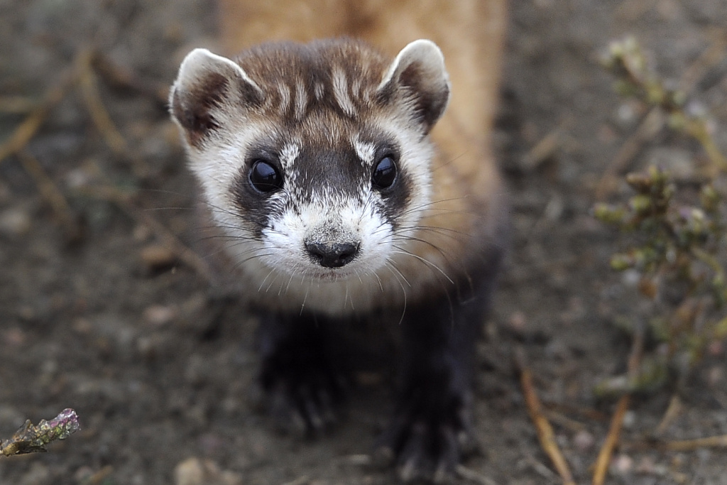 Black-footed ferrets are the most endangered mammal in North America. Scientists in Montana are trying to save the ferrets by saving their main food source, prairie dogs.