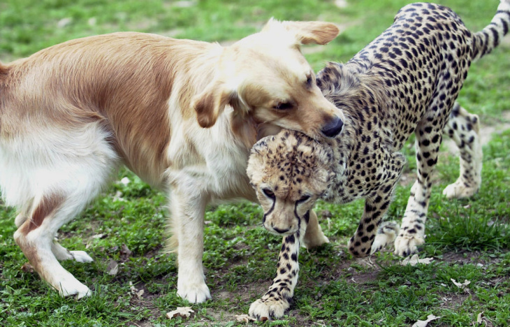 Cheetah Dog