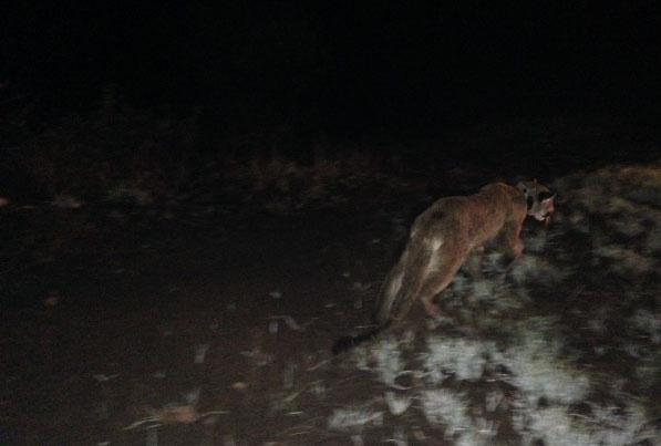An image of P34, a young mountain lion found in a residential area of Ventura County Friday night.