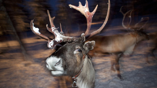 A recent study in the British Medical Journal concludes that Rudolph's nose is red