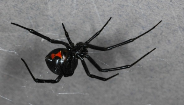 The poisonous black widow spider, under pressure in SoCal from the brown widow, which hails from Florida.