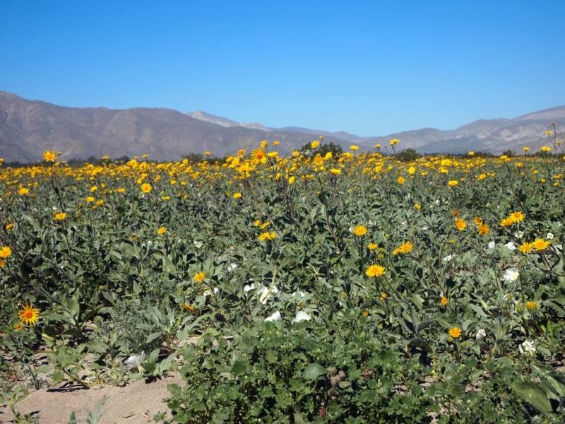 The Super Bloom at Anza Borrego Park in April 2016.