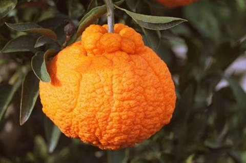 Image of a Sumo citrus.