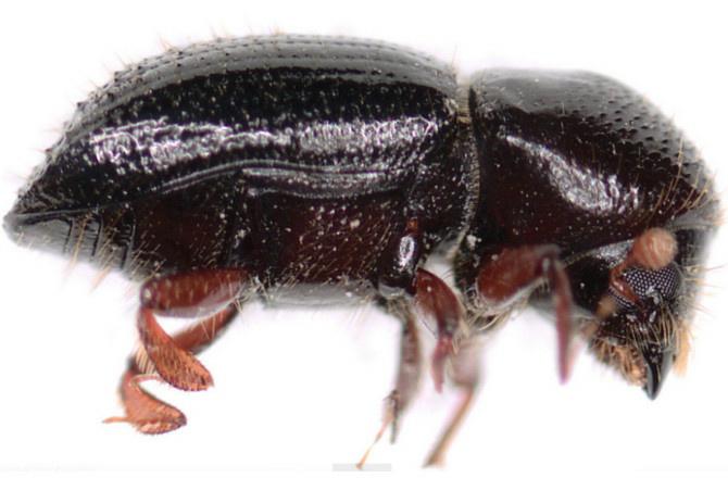 A female ambrosia beetle, E. validus.