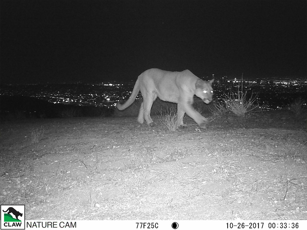 An uncollared mountain lion was spotted in the Hollywood Hills last week. What would it mean for Griffith Park's P22?