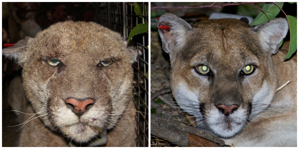 What a difference two years and mange medicine make! On the left, a photo when P-22 was recaptured in March 2014. His health has vastly improved as seen in a photo from his recapture on December 16, 2015.