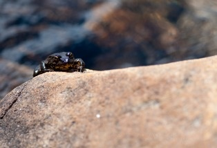 A mountain yellow-legged frog
