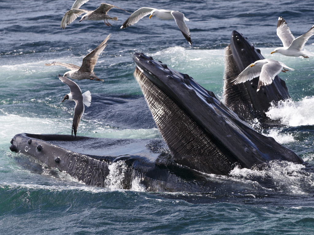 Humpback whales feed at the Stellwagen Bank National Marine Sanctuary near Provincetown, Mass., on July 9, 2014.