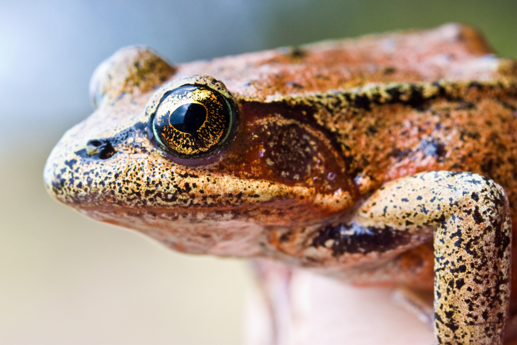 The colorful California red-legged frog is California's official state amphibian.