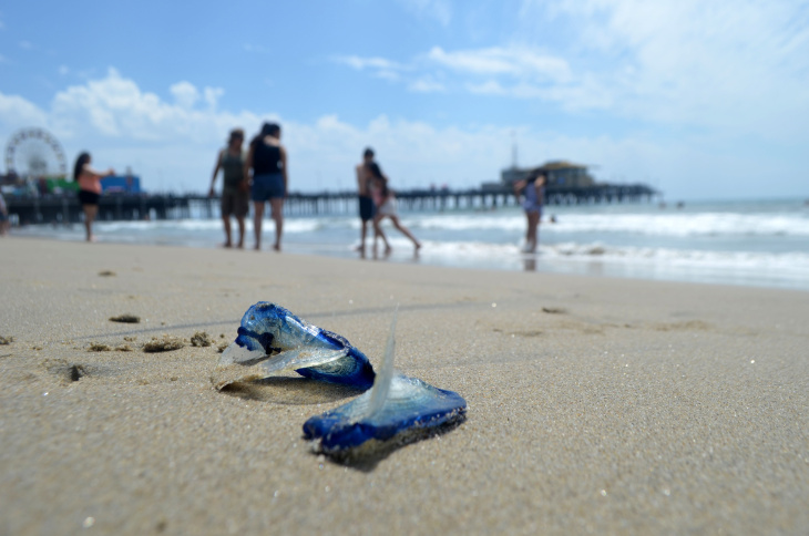 Velella velellas have washed up on California beaches in great numbers in the past. When the jellyfish will appear is not easily predicted.