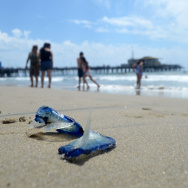 Velella velellas at Santa Monica Pier