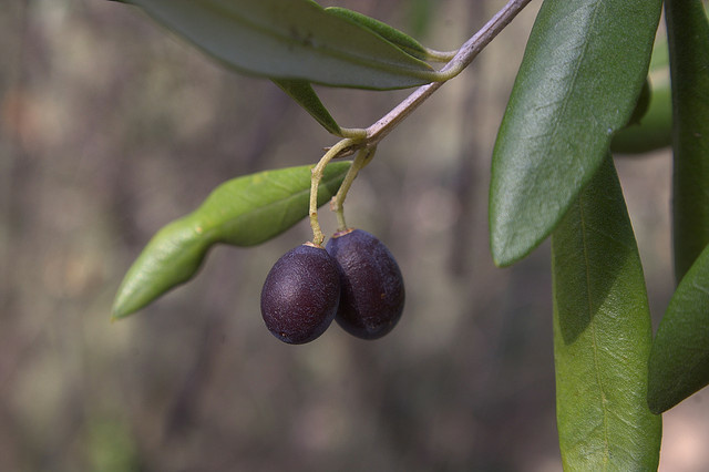 A couple of taggiasca olives, almost ready to be picked for the oil.