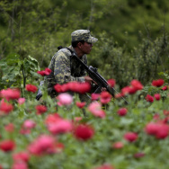 Mexican soldiers stand in a poppy flowers field before they are cut off, at Petatlan hills in Guerrero state, Mexico on August 28, 2013. Mexico is being whipped by a drug cartels war disputing their place and the trafficking to the United States with unusual ferocity and sophisticated wepaons.    AFP PHOTO/Pedro Pardo