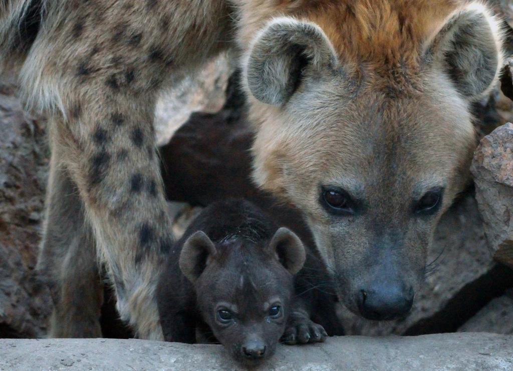 A newly born spotted hyena (Crocuta crocuta) baby is seen with its mother at the Animal Garden in Szeged, Hungartat the Serbian border on March 17, 2014.