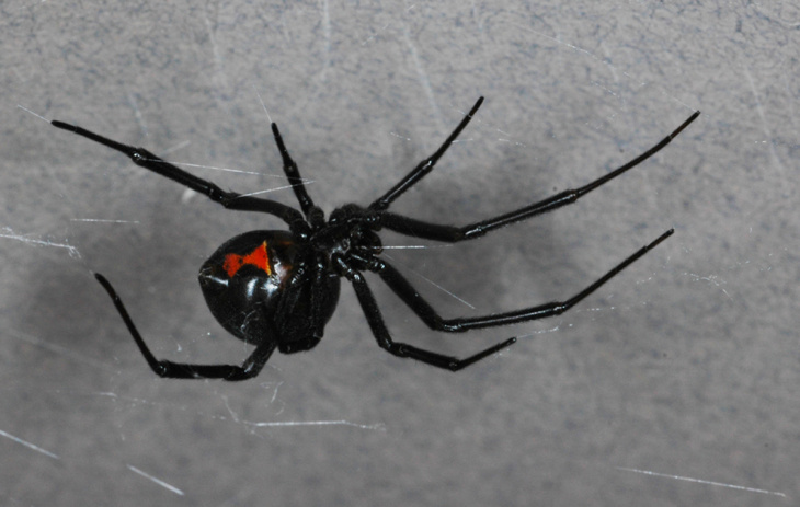 The somewhat less-poisonous but invasive brown widow spider.