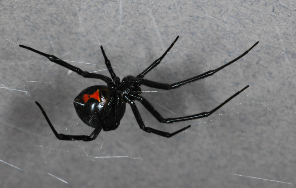 Brown Black Widow Off-Ramp® | Invas...