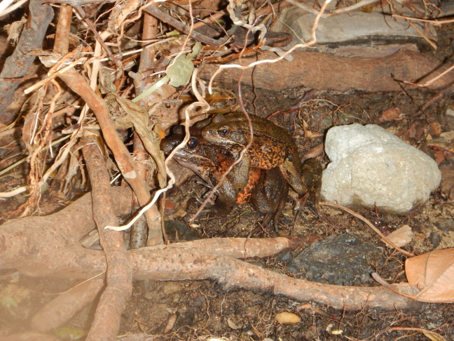 These California-red-legged frogs were translocated into the Santa Monica Mountains as eggs and survived into adulthood.