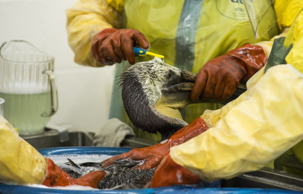 Volunteers and staff of the International Bird Rescue use a toothbrush and soap to clean oil off a brown pelican  in the San Pedro area of Los Angeles, California on May 22, 2015, who was rescued after being covered in oil from the  Refugio Oil Spill.