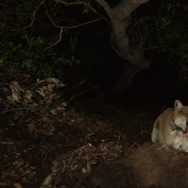 Mountain lion P-22 coughs up a hairball from the deer he's eating. Doesn't he deserve a better name? That's where you come in.