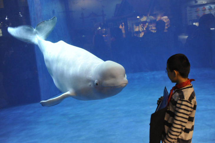 A visitor admires a beluga or white whal