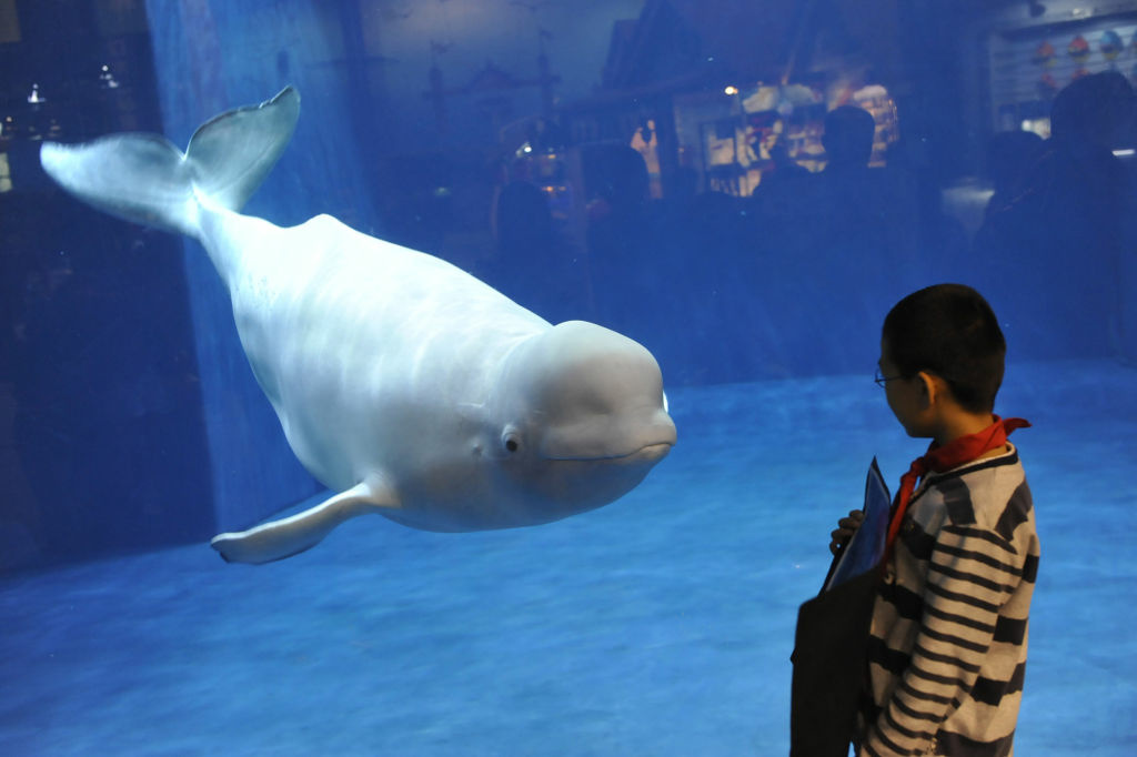 A visitor admires a beluga or white whale, the latest attraction at the Beijing aquarium on September 20, 2011. Beijing is expecting a surge of tourist arrivals during the upcoming national day holidays.